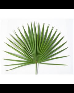 "Altar Fan Palms, 24"" (61 cm) Height approximately"